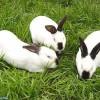 赛北兔獭兔养殖技术獭兔价格肉兔养殖技术肉兔价格种兔野兔