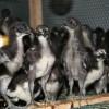 江西绿壳蛋鸡养殖、绿壳蛋鸡苗价格、黑鸡市场行情、黑鸡苗