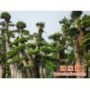 供应山东青州市优质永利花木多种榆树