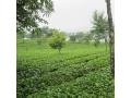 茶园风景 (3)