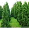 哪里有大龙柏,北方花灌木找林益源苗木专业合作社