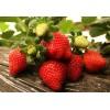 厂家直销口味好的红苺,树莓批发