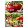 晨宏种业给推荐越冬耐低温西红柿种子/以色列进口西红柿种子