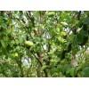 想要易种植的木瓜树就来森林苗木 易管理的木瓜树