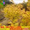 正宗日本红枫赤金枫 珊瑚阁红枫苗 三季观叶红枫树