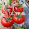 【满意100%】{优质//供应//销售}【大西红柿种子】{厂家//格}@瑞恒