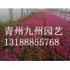 芝樱 想要优质的芝樱就来青州九州园艺