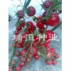 常年订购各种特色西红柿、口感西红柿种子种苗