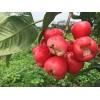 的广西新鲜莲雾果_防城港天红农业是优质的天红一号莲雾果批发商