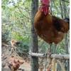 哪里有昆明黑毛乌鸡|云南可信赖的云南土鸡生产地