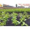 兴安红阳猕猴桃优质桂林茂谷柑苗专业供应