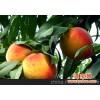 现大量供应黄桃