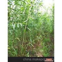 美国竹柳0.5-0.8m小苗 造林 绿化 景观