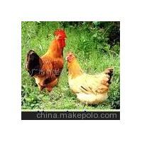 鲜和土家鸡(柴鸡)