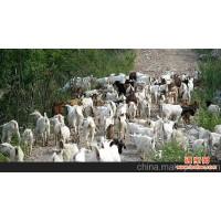 高海拔地区生态草场放牧山羊(肉羊)抢鲜上市大量批发供应