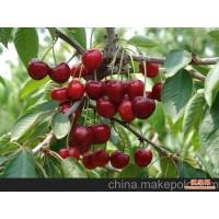 北京供应10-20CM低价出售2000棵大樱桃树
