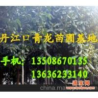 丹江口青龙苗圃基地大量供应棕榈树