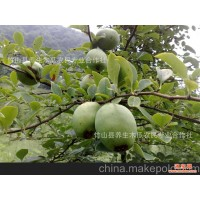 大量供应 美容保健生态养生木瓜