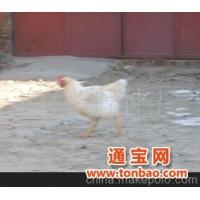白塔孵化厂供应家禽