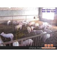 供应金宝贝发酵床养猪猪温度适宜