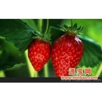 伟望公社草莓采摘