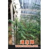 北京紫薇园出售红豆杉,盆景红豆杉,南方红豆杉