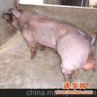 杜洛克种猪,北京杜洛克种猪专卖