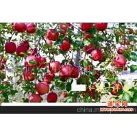 红富士苹果-红富士苹果