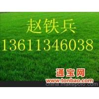 大量出售优质高羊茅、早熟禾草坪
