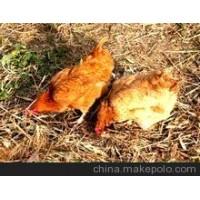 石家庄老母鸡养殖基地