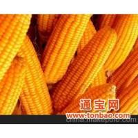 大量出售新玉米 优质玉米(80~100吨)