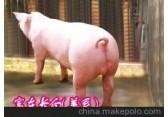 中国种猪信息网/种猪养殖场/富东