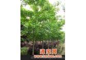 批发供应 各种规格园林绿化苗木、乔木 各种规格银杏苗木
