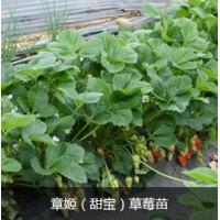 草莓苗批发,大棚草莓种植技术,章姬草莓苗