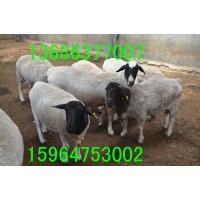 供应吉林哪里有卖黑头杜泊羊的 济宁规模化养殖场