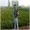 供应江苏有品质的塔柏苗木