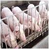 专业的生猪供应商就在苏州:购买生猪