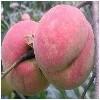 临沂位合理的沂蒙霜红桃哪里买,杨浦沂蒙霜红桃