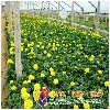 代养草花厂家哪有,代养草花穴盘苗,代养花卉这里有