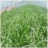 有机盆栽韭菜||青州有机韭菜【绿色天然@茂源】
