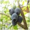 上海蓝莓批发格采购口碑好的蓝莓就找绿色家园生物科技